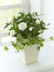 Rose and Ivy Sympathy Arrangement
